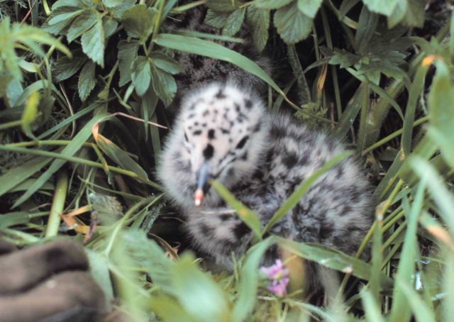 Spotted gull chick hiding in the grass. Picture