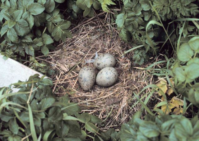 Spotted gull nest in the grass and foliage. Picture