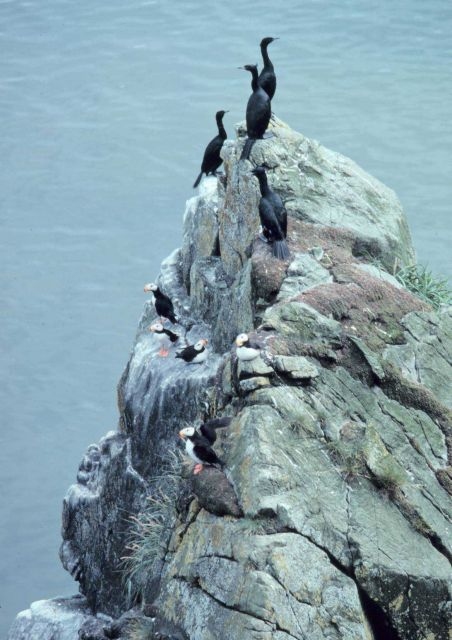 Red-faced cormorants and horned puffins - Fratercula corniculata. Picture