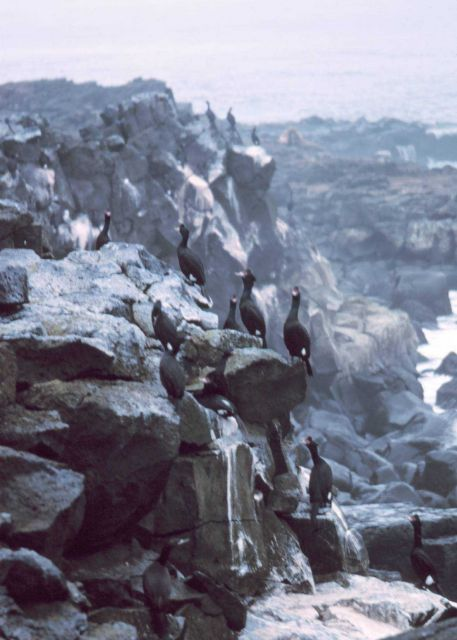 Red-faced cormorants. Picture