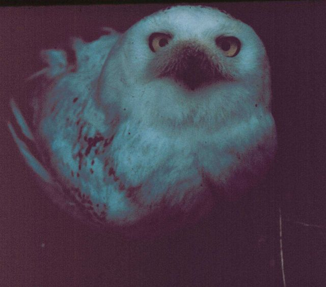 Snow owl. Picture