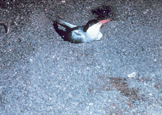Arctic tern (Sterna paradisaea) nesting on North Slope. Picture