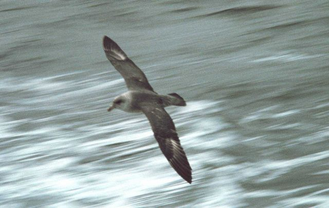 Glaucous gull (Larus hyperboreus) in flight. Picture