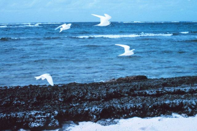 White terns or fairy terns, Gygis alba, in flight. Picture