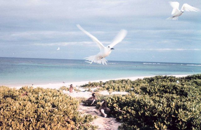 White terns or fairy terns, Gygis alba, in flight Picture