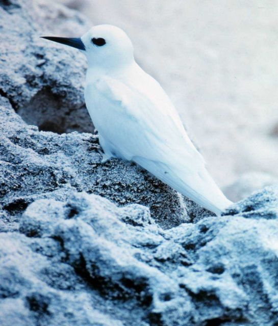 White tern or fairy tern chick, Gygis alba. Picture