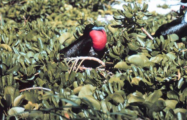 A male frigate bird, Frigata minor. Picture