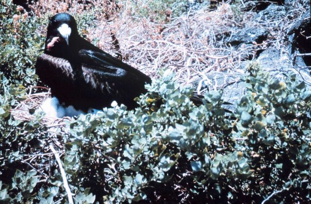 A male frigate bird (Frigata minor) with waddle deflated. Picture