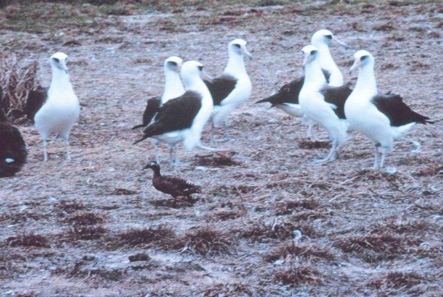 Laysan duck walking between Laysan albatrosses Picture