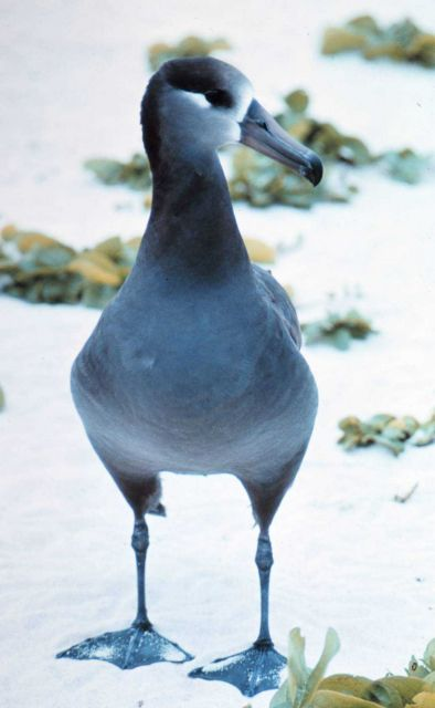 Black-footed Albatross (Phoebastria nigripes). Picture