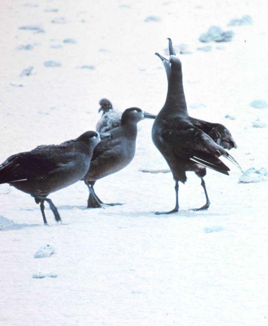 Black-footed Albatross (Phoebastria nigripes). Picture