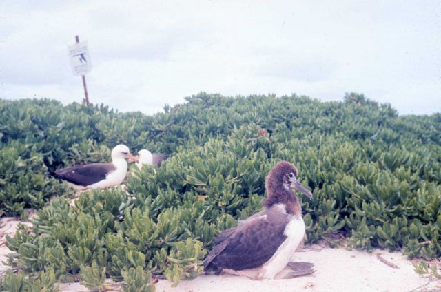 Laysan albatross (Phoebastria immutabilis) nesting ground and chick. Picture