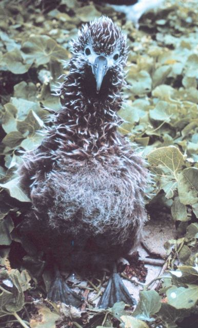 Albatross chick. Picture