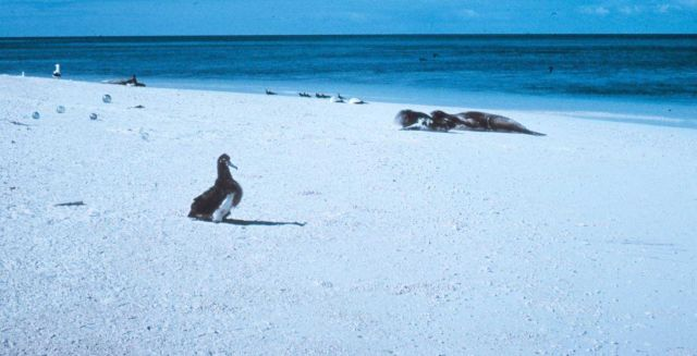 Albatross chick, monk seals and Japanese glass fishing floats. Picture