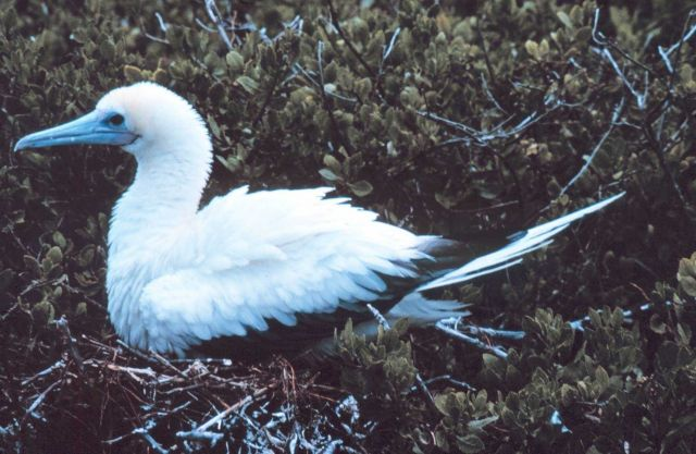 Young booby. Picture