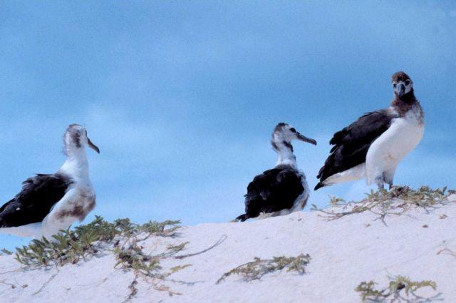 Albatross chicks. Picture