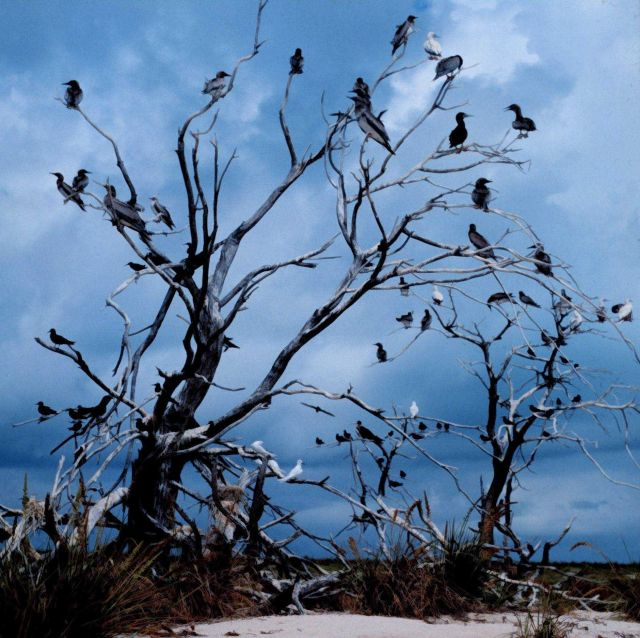 Multiple tropical marine bird species using available remains of trees for perching. Picture