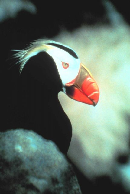 Puffin. Picture