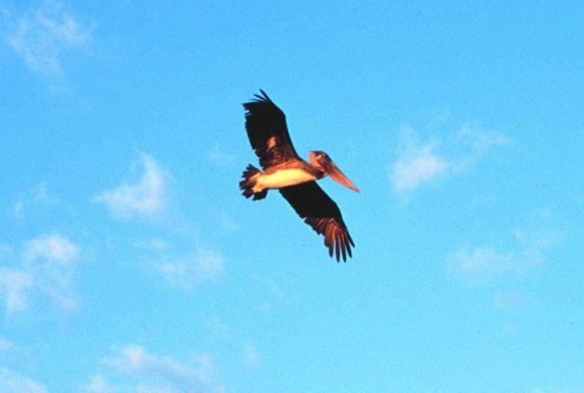 Brown pelican in flight. Picture