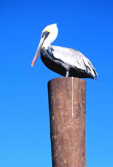 Brown pelican perched on a piling. Picture