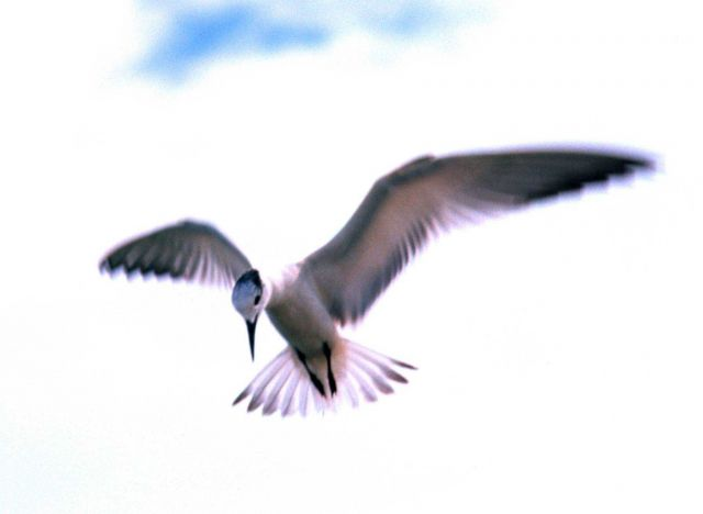 A tern hovering above photographer's head. Picture