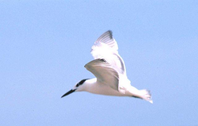 Tern in flight. Picture