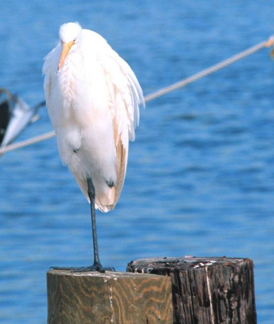 Egret. Picture