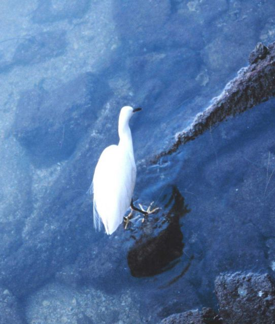 White heron looking for dinner. Picture