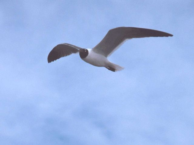 A laughing gull rides the wind over the NOAA Ship FERREL. Picture