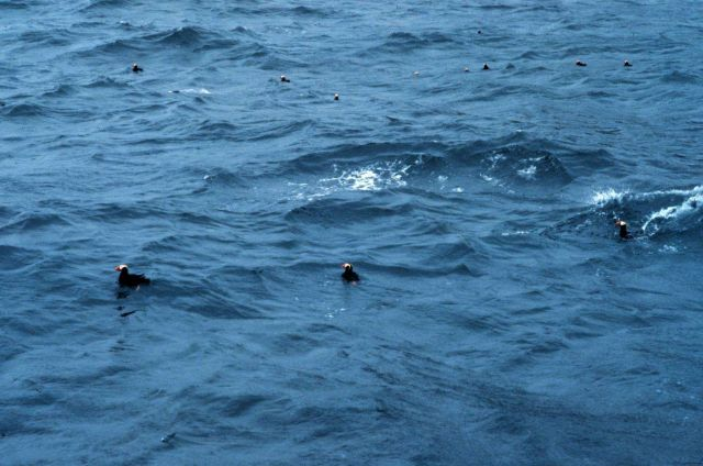 Tufted puffins looking for dinner. Picture