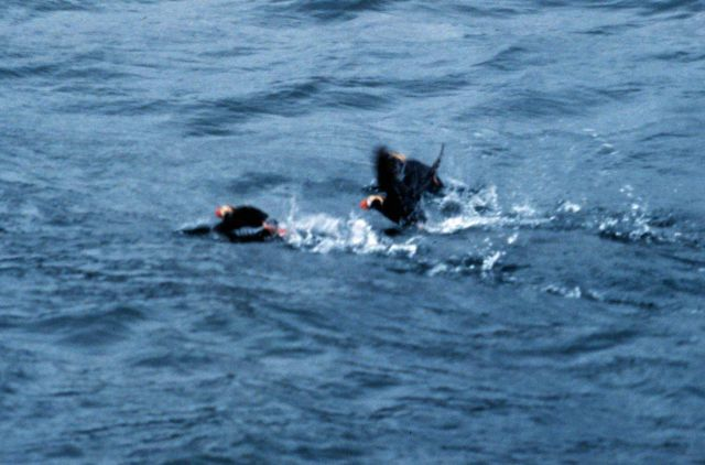 Tufted puffins taking off as boat approaches. Picture