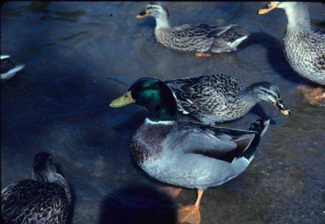 Mallard duck. Picture
