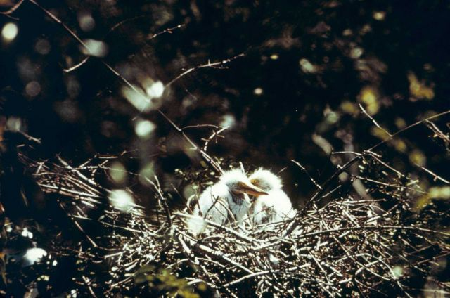 Maybe wood stork chicks. Picture