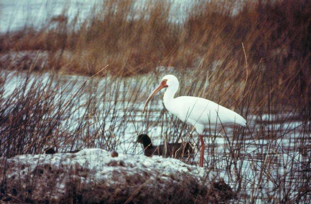 White ibis. Picture