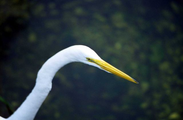 Graceful head and bill of a white heron. Picture