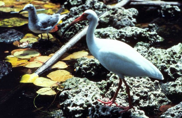 White ibis and seagull. Picture