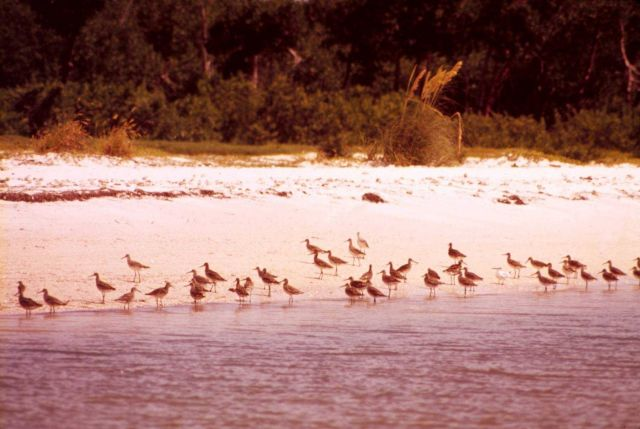 Marbled godwits? Picture