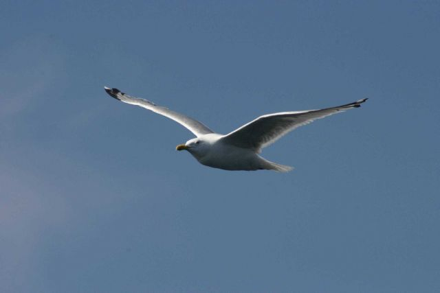 Atlantic gull (Larus michahellis) in flight. Picture
