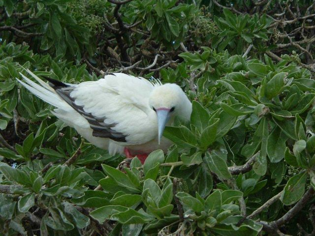 Red-footed booby. Picture