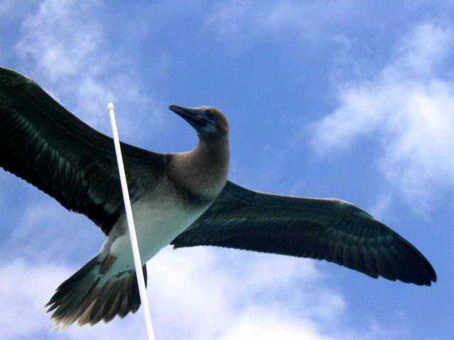 Brown booby. Picture