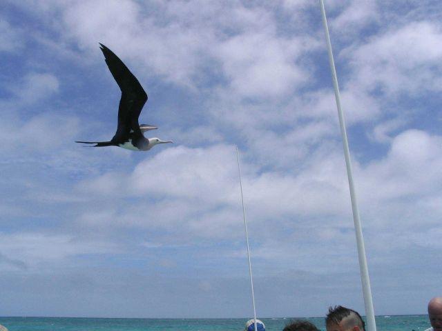 Frigate bird. Picture