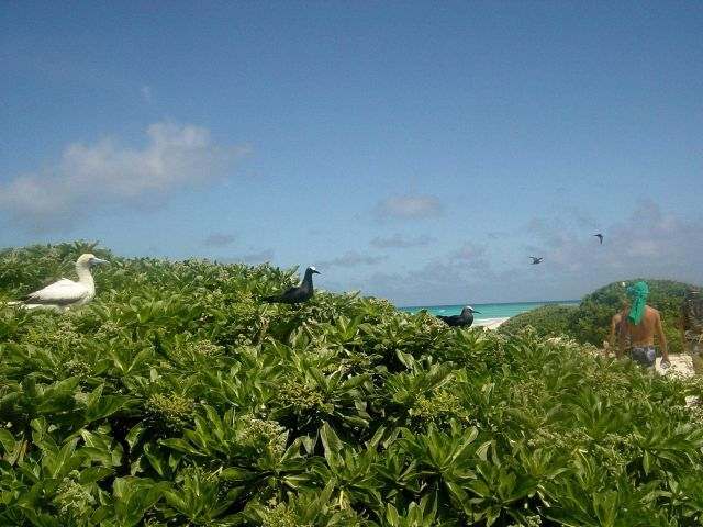 Blue-footed booby on left with brown noddies in center of image. Picture