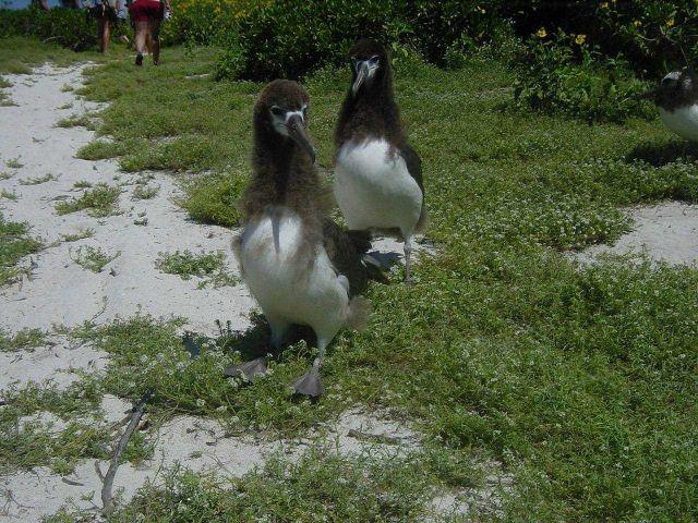 Albatross fledgelings. Picture