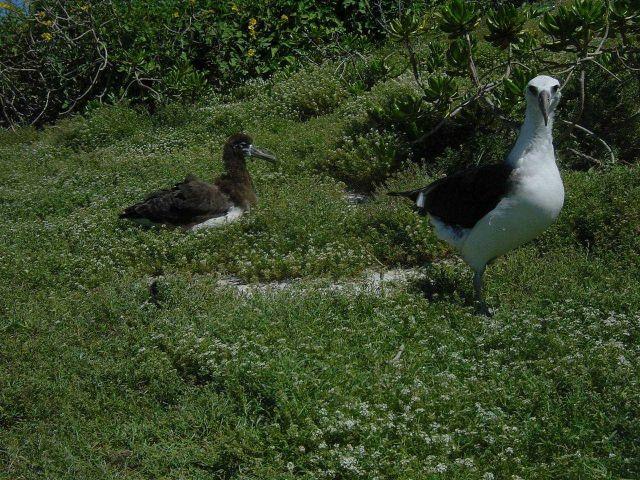 Laysan albatross. Picture