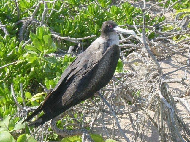 A frigate bird up close. Picture