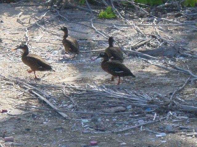 Laysan ducks (Anas laysanensis). Picture