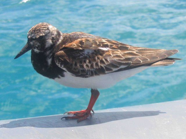 A ruddy turnstone, a migratory bird which migrates between Alaska and Hawaii. Picture