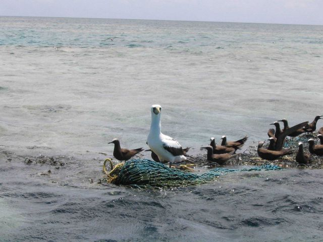 A booby and noddies use floating nets and debris from fishing operations as perch. Picture