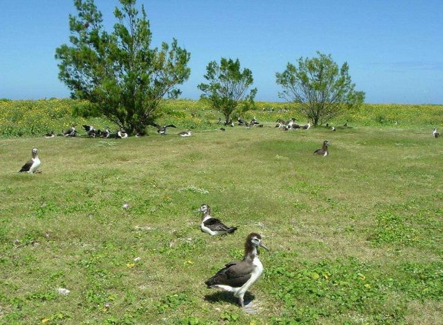 An albatross colony on Kure. Picture