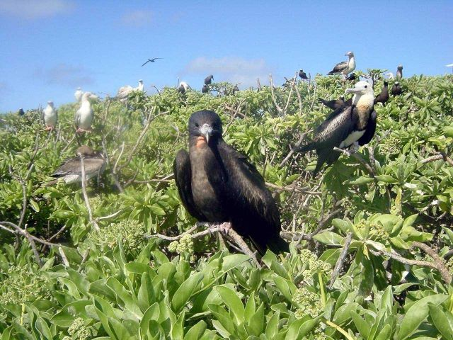Frigate birds and boobies. Picture